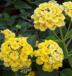 lantana chapel hill yellow