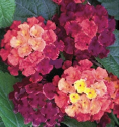 lantana little lucky hot pink