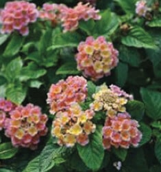 lantana little lucky peach glow