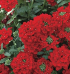 lantana little lucky red