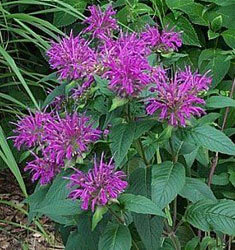 monarda dark ponticum purple
