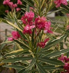 oleander variegated twist of pink