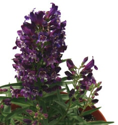 Penstemon_Purple_Rock_Candy_235x250
