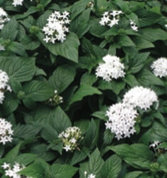 pentas butterfly white
