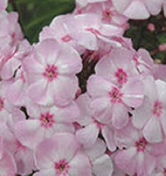 phlox cotton candy