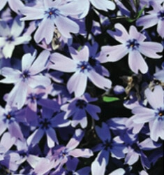 phlox emerald blue
