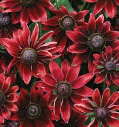 Rudbeckia_Cherry_Brandy_235x250