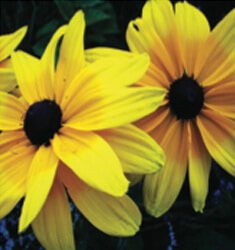 Rudbeckia_Indian_Summer_235x250