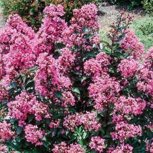 crape myrtle coral magic