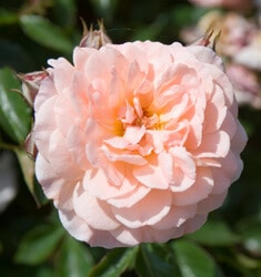 rose apricot drift