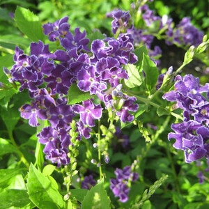 duranta purple ruffles
