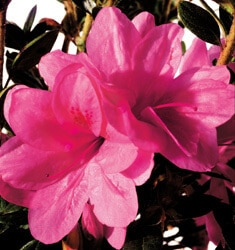 encore azalea autumn empress