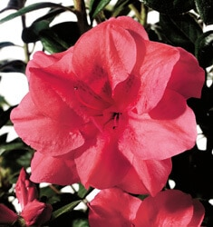 encore azalea autumn princess