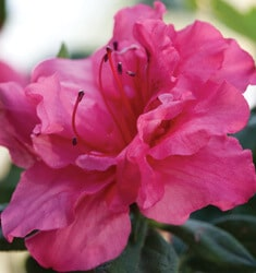 encore azalea autumn rouge