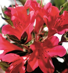 encore azalea autumn ruby