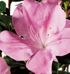 encore azalea autumn sweetheart