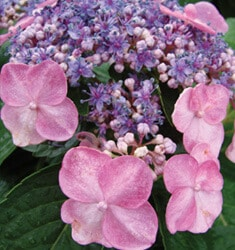 hydrangea endless summer twist n shout