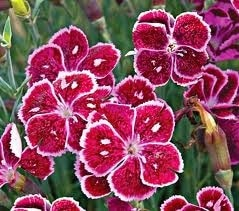dianthus fire & ice