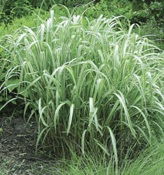 fw_plant_Japanese_Silver_Grass_Cabaret