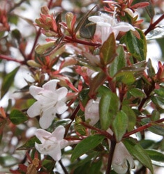 fw_plant_abelia_gold_dust