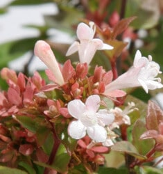 abelia rose creek
