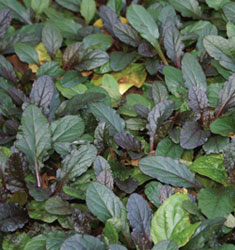 fw_plant_ajuga_bronze_beauty