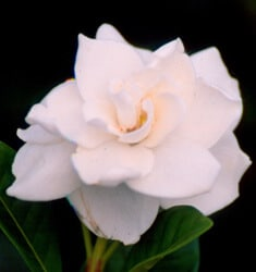 fw_plant_august_beauty_gardenia