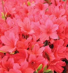 fw_plant_azalea_christmas_cheer