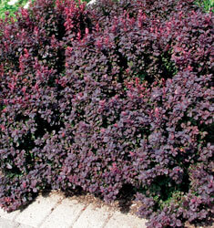 barberry concorde