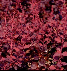 barberry crimson pygmy