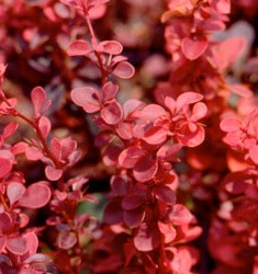fw_plant_barberry_royal_burgundy