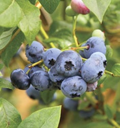 fw_plant_blueberry_woodard