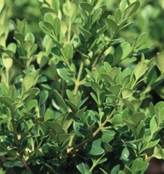 fw_plant_boxwood_winter_gem