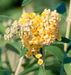 fw_plant_buddleia_honeycomb