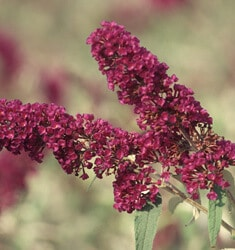 fw_plant_butterfly_bush_black_knight