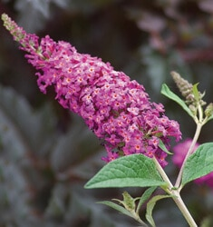 fw_plant_butterfly_bush_miss_ruby