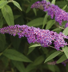 buddleia nanho purple