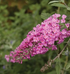 fw_plant_butterfly_bush_pink_delight