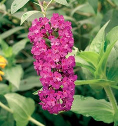 fw_plant_butterfly_bush_royal_red