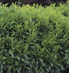 fw_plant_cherry_laurel