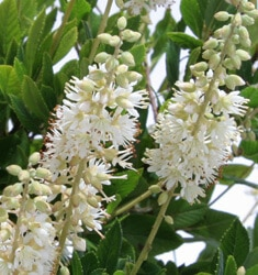 clethra white dove