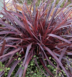 cordyline festival grass burgundy