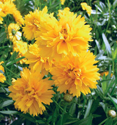 fw_plant_coreopsis_early_sunrise