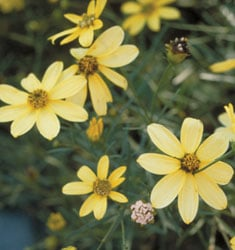 fw_plant_coreopsis_moonbeam