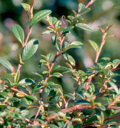 fw_plant_cotoneaster_scarlet_leader