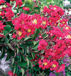crapemyrtle red rocket