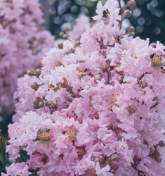 fw_plant_crapemyrtle_sioux