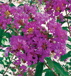 crapemyrtle twilight