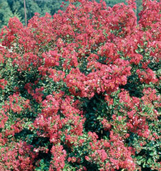 fw_plant_crapemyrtle_victor