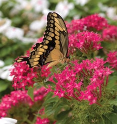 fw_plant_deep_pink_butterfly_star_cluster